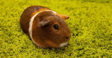 Guinea Pig Hastalıkları ve Tedavisi