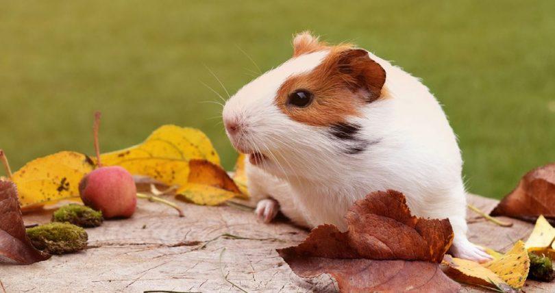 Guinea Pig Özellikleri ve Bakımı