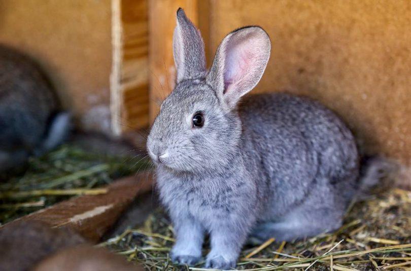 Tavşan Türleri (Cinsleri) Nelerdir_